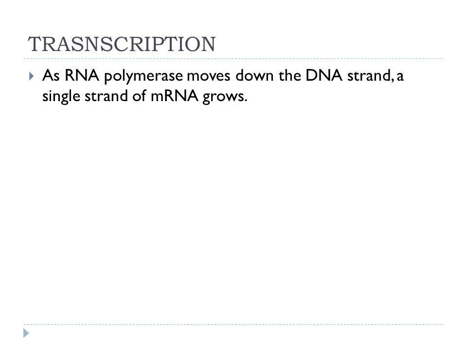 TRASNSCRIPTION As RNA polymerase moves down the DNA strand, a single strand of mRNA grows.