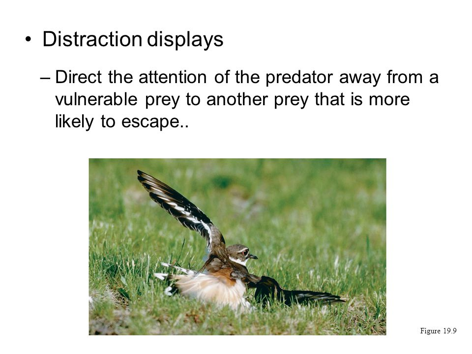 Distraction displays Direct the attention of the predator away from a vulnerable prey to another prey that is more likely to escape..