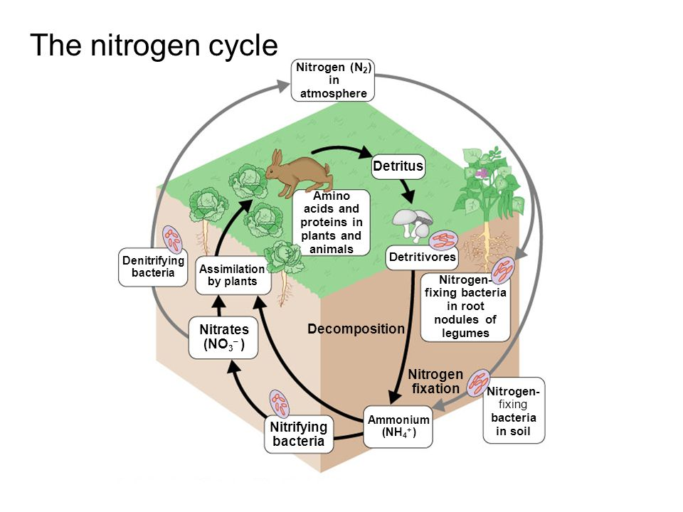 The nitrogen cycle Detritus Nitrates (NO3– ) Decomposition