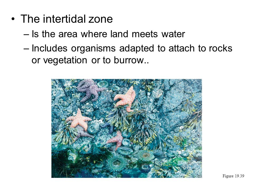 The intertidal zone Is the area where land meets water