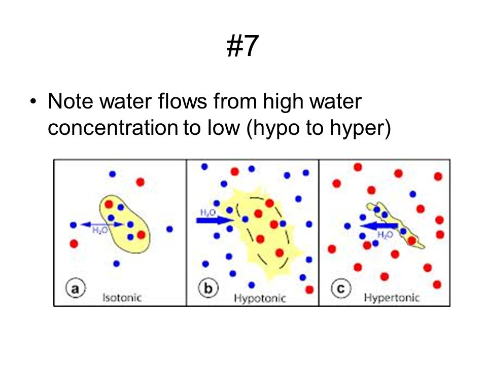 #7 Note water flows from high water concentration to low (hypo to hyper)