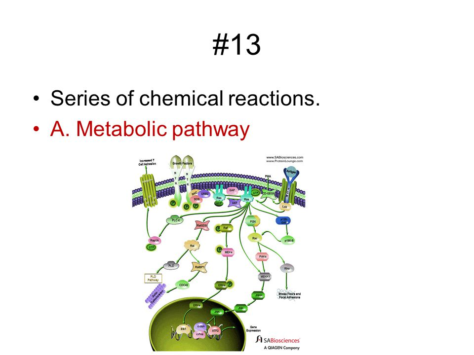#13 Series of chemical reactions. A. Metabolic pathway