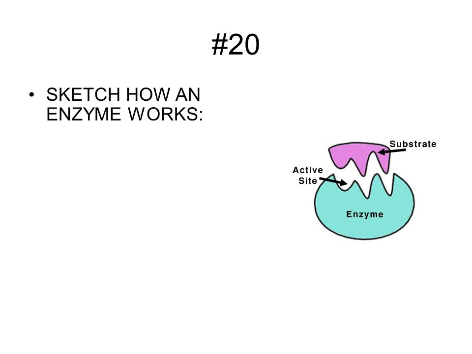 #20 SKETCH HOW AN ENZYME WORKS: