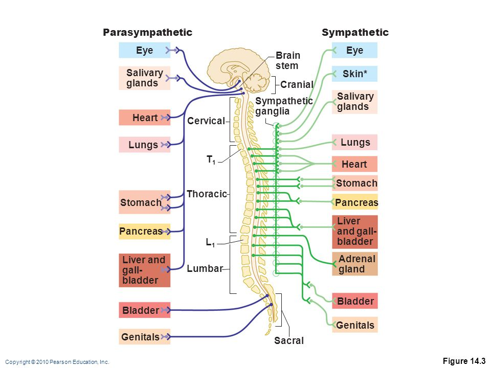 Parasympathetic Sympathetic Eye Eye Brain stem Salivary glands Skin*