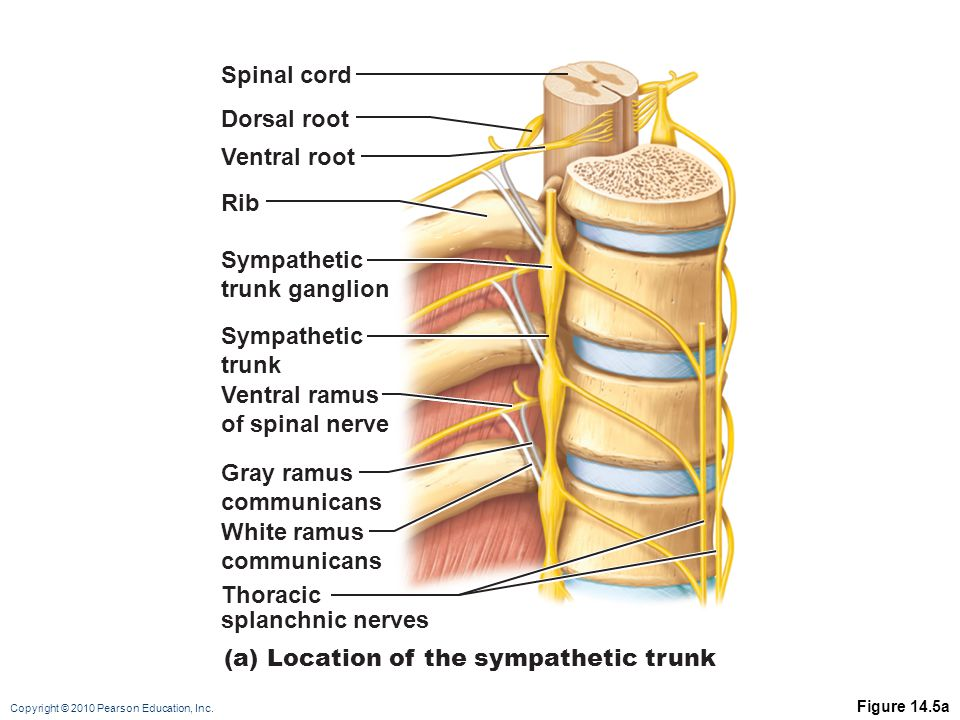 (a) Location of the sympathetic trunk