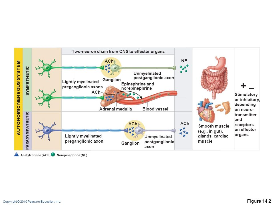 + Figure 14.2 Two-neuron chain from CNS to effector organs ACh NE