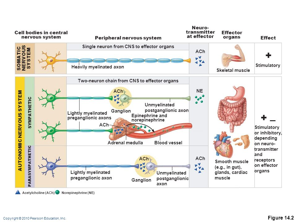 + + Figure 14.2 Neuro- transmitter at effector Cell bodies in central