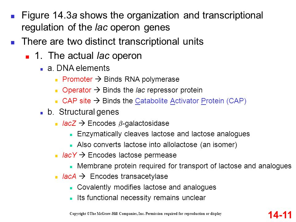 There are two distinct transcriptional units 1. The actual lac operon