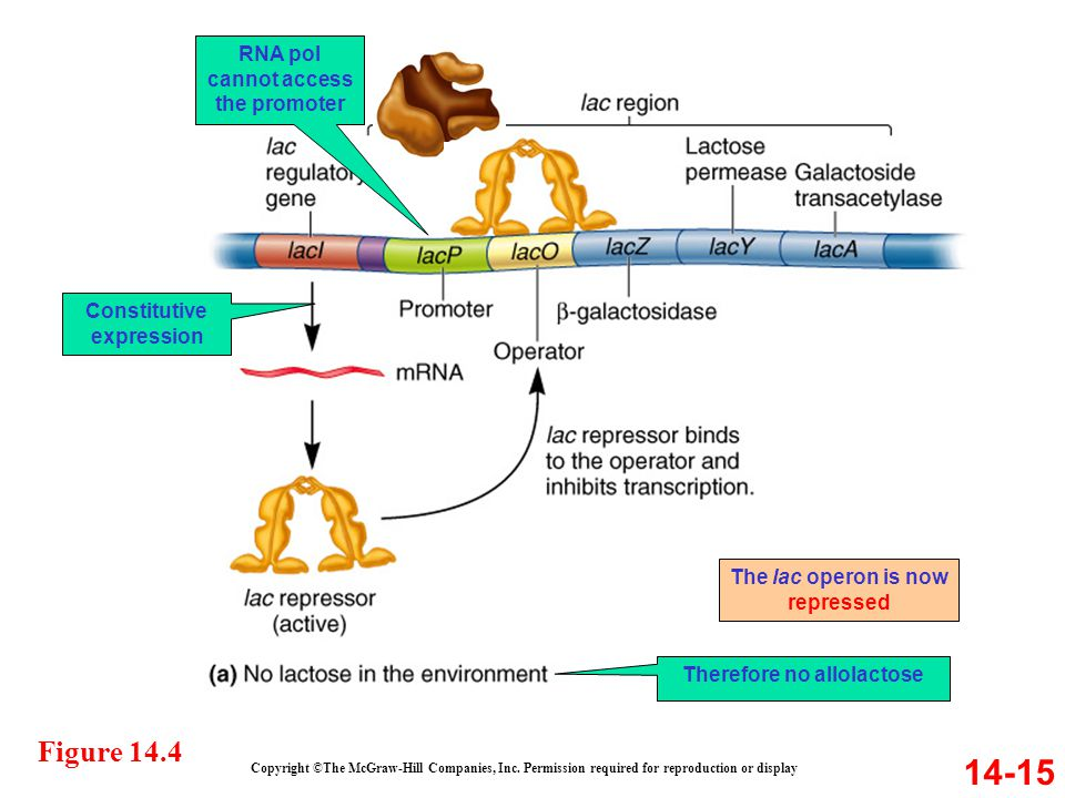 RNA pol cannot access the promoter