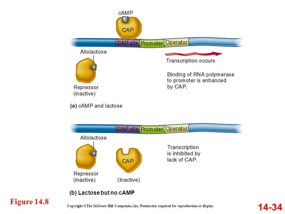 14-34 Figure 14.8 (b) Lactose but no cAMP
