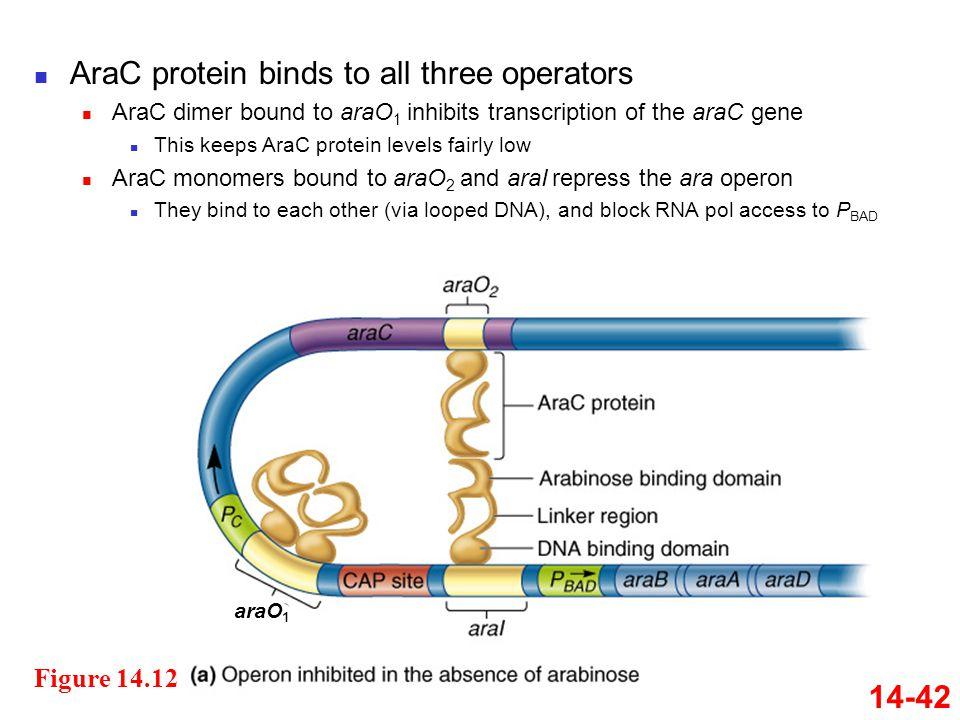 AraC protein binds to all three operators
