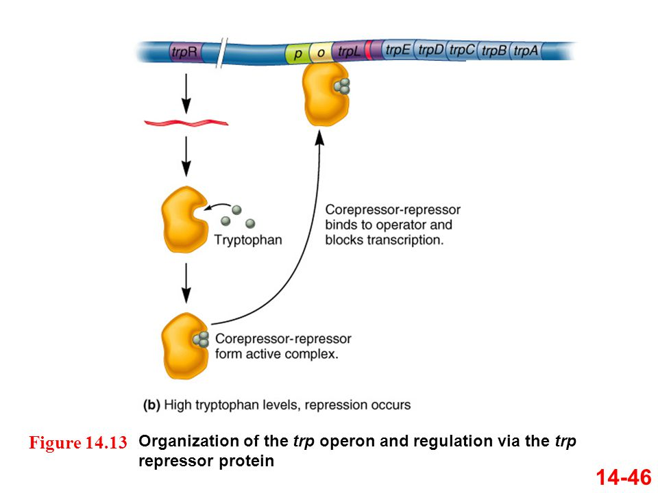 Organization of the trp operon and regulation via the trp repressor protein