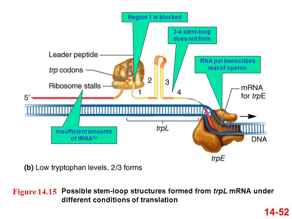 Region 1 is blocked 3-4 stem-loop does not form. RNA pol transcribes rest of operon. Insufficient amounts of tRNAtrp.