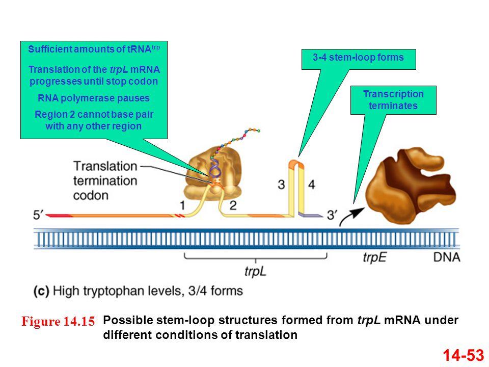 Sufficient amounts of tRNAtrp