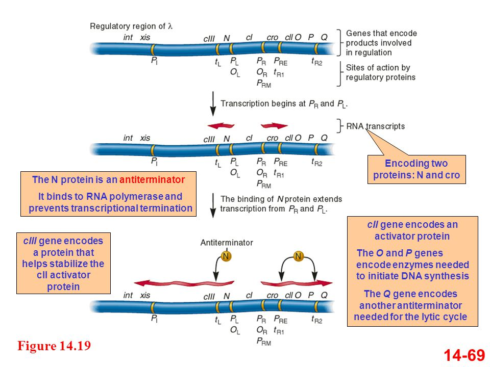 14-69 Figure 14.19 Encoding two proteins: N and cro
