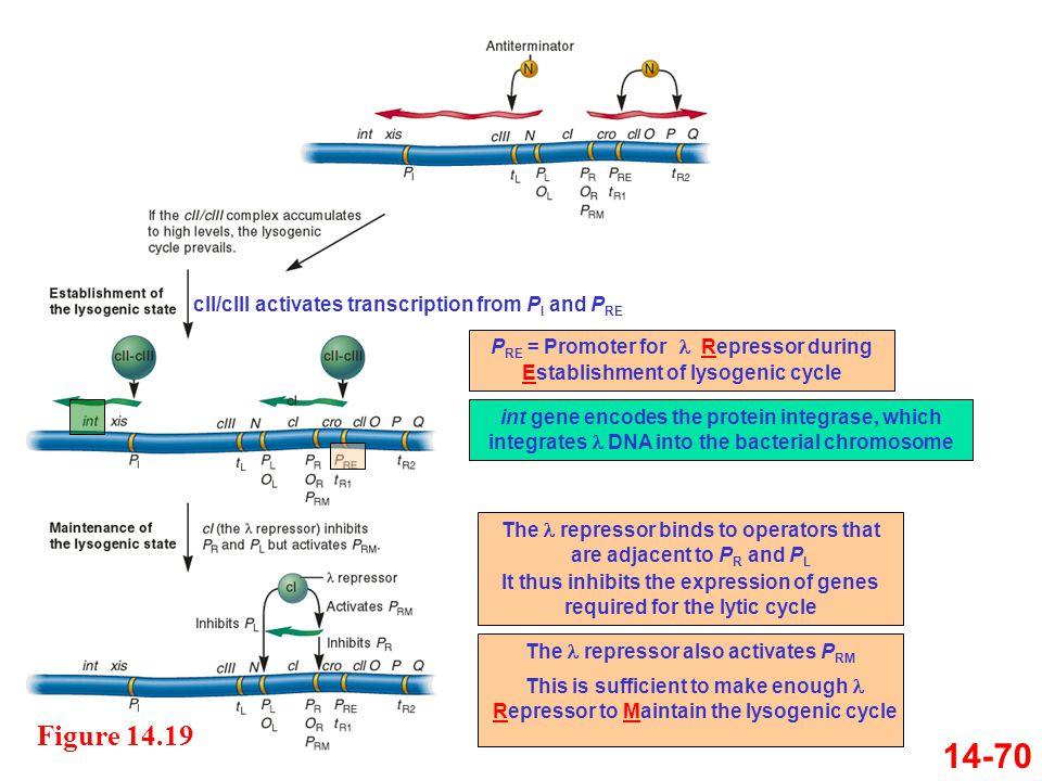14-70 Figure 14.19 cII/cIII activates transcription from PI and PRE