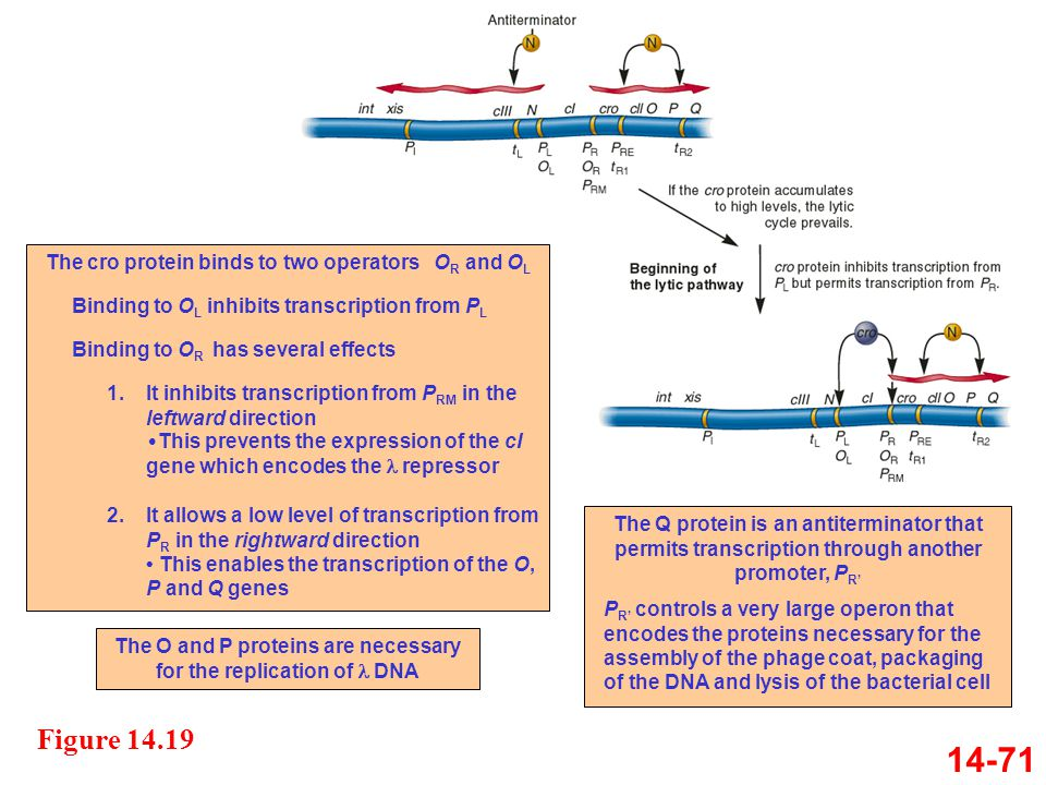 14-71 Figure 14.19 The cro protein binds to two operators OR and OL