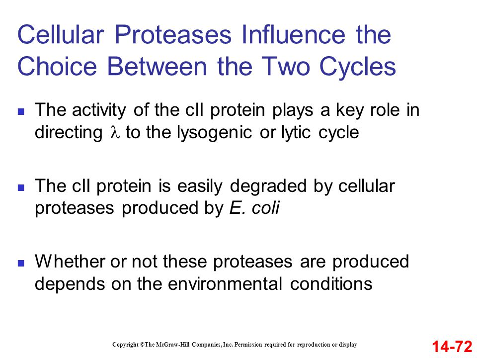 Cellular Proteases Influence the Choice Between the Two Cycles