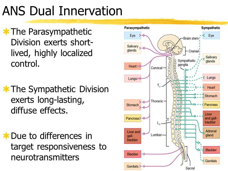 ANS Dual Innervation The Parasympathetic Division exerts short-lived, highly localized control.