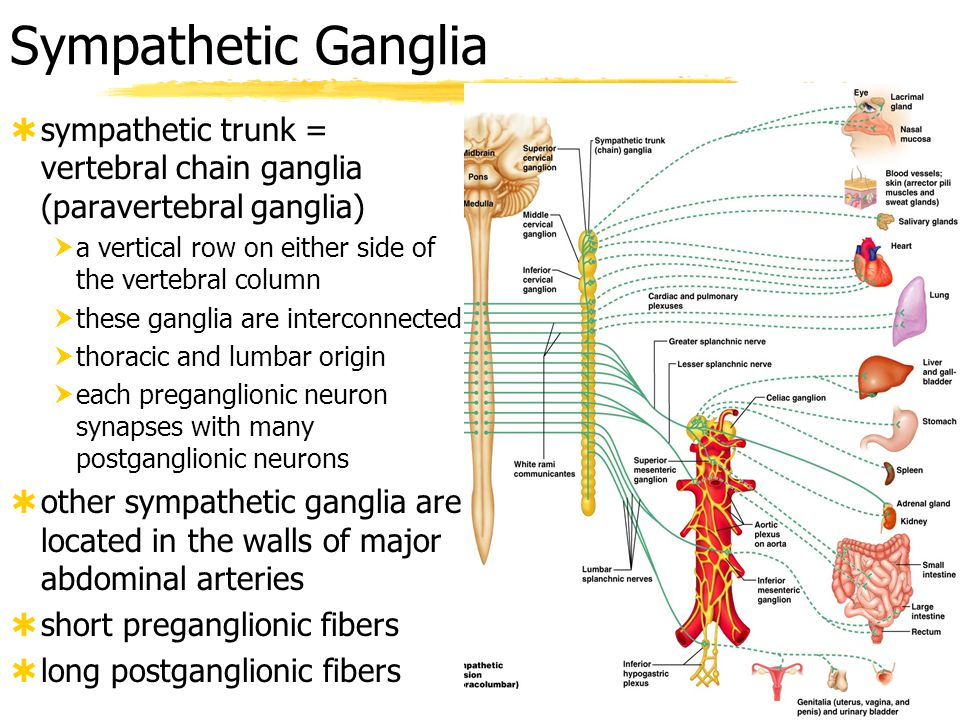 Sympathetic Ganglia sympathetic trunk = vertebral chain ganglia (paravertebral ganglia) a vertical row on either side of the vertebral column.