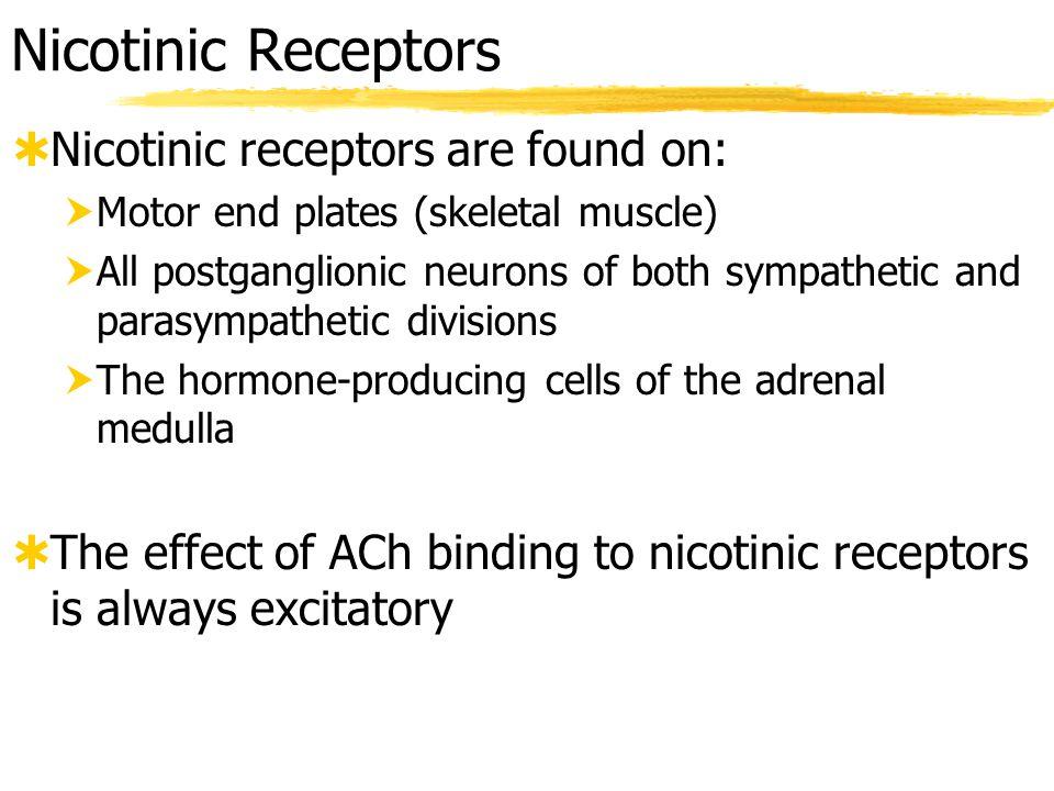 Nicotinic Receptors Nicotinic receptors are found on: