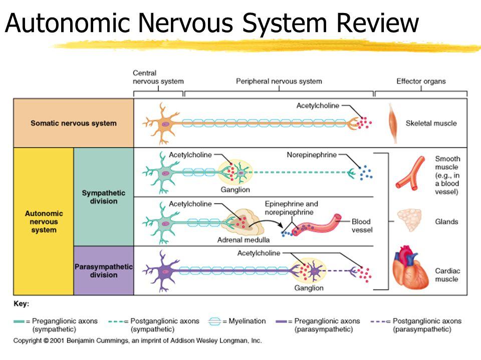 Autonomic Nervous System Review