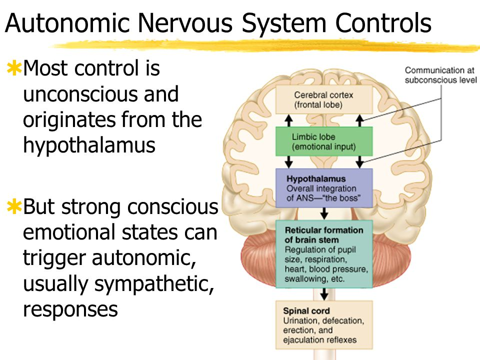 ch 14 autonomic system Written notes for the anatomy chapter on the peripheral nervous system 914, 915 peripheral nervous system - consists of the nerves that branch out from the cns and connect cell body -- preganglionic fiber (axon) leaves cns and synapses with neurons in the autonomic ganglion.