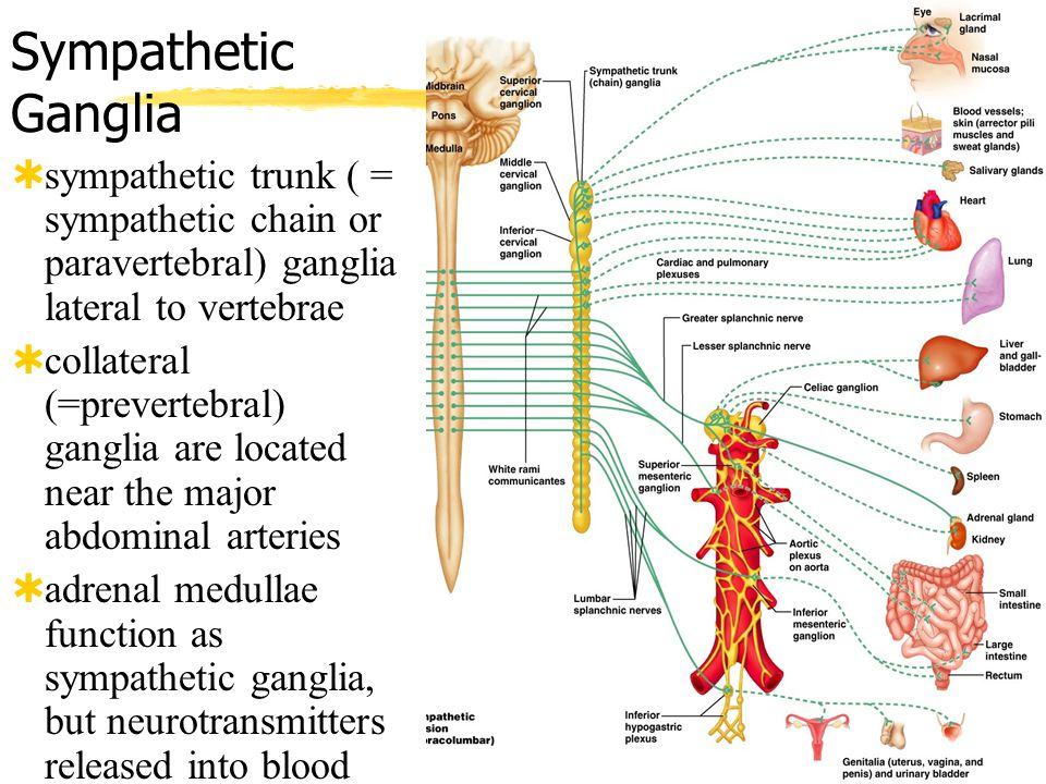 Sympathetic Ganglia sympathetic trunk ( = sympathetic chain or paravertebral) ganglia lateral to vertebrae.