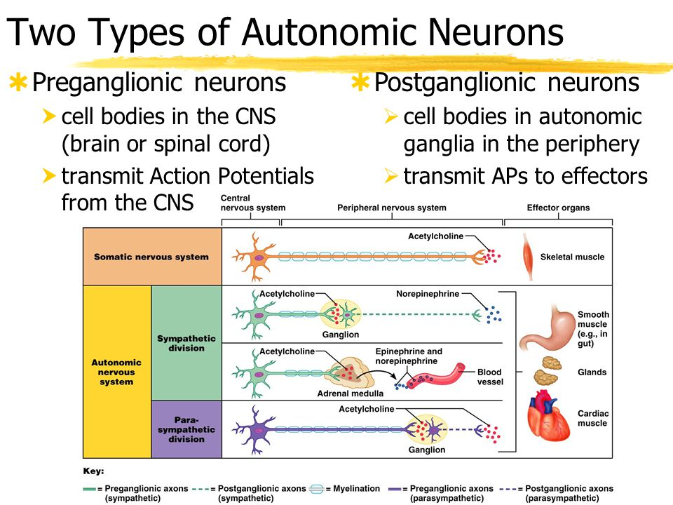 Two Types of Autonomic Neurons