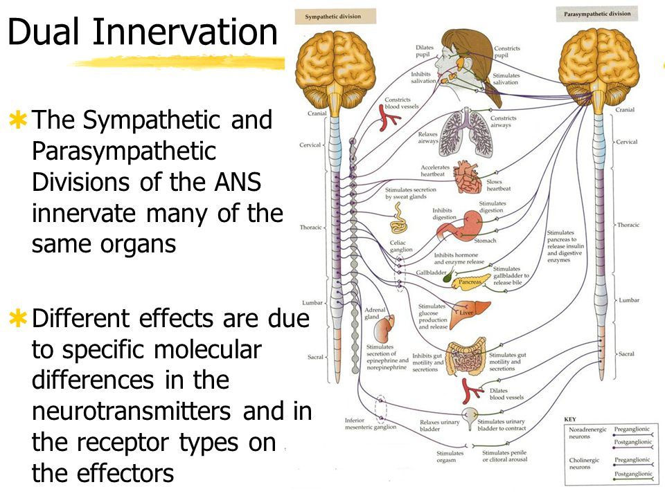 Dual Innervation The Sympathetic and Parasympathetic Divisions of the ANS innervate many of the same organs.