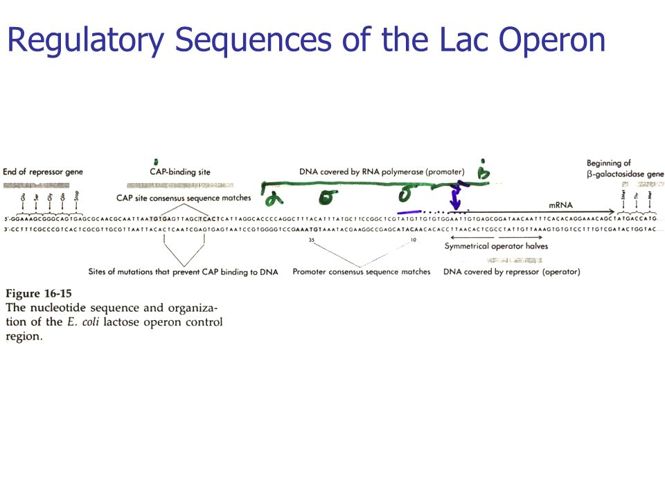 Regulatory Sequences of the Lac Operon
