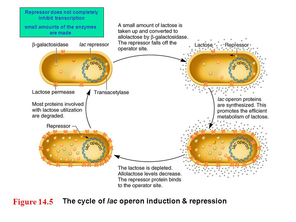 Figure 14.5 The cycle of lac operon induction & repression