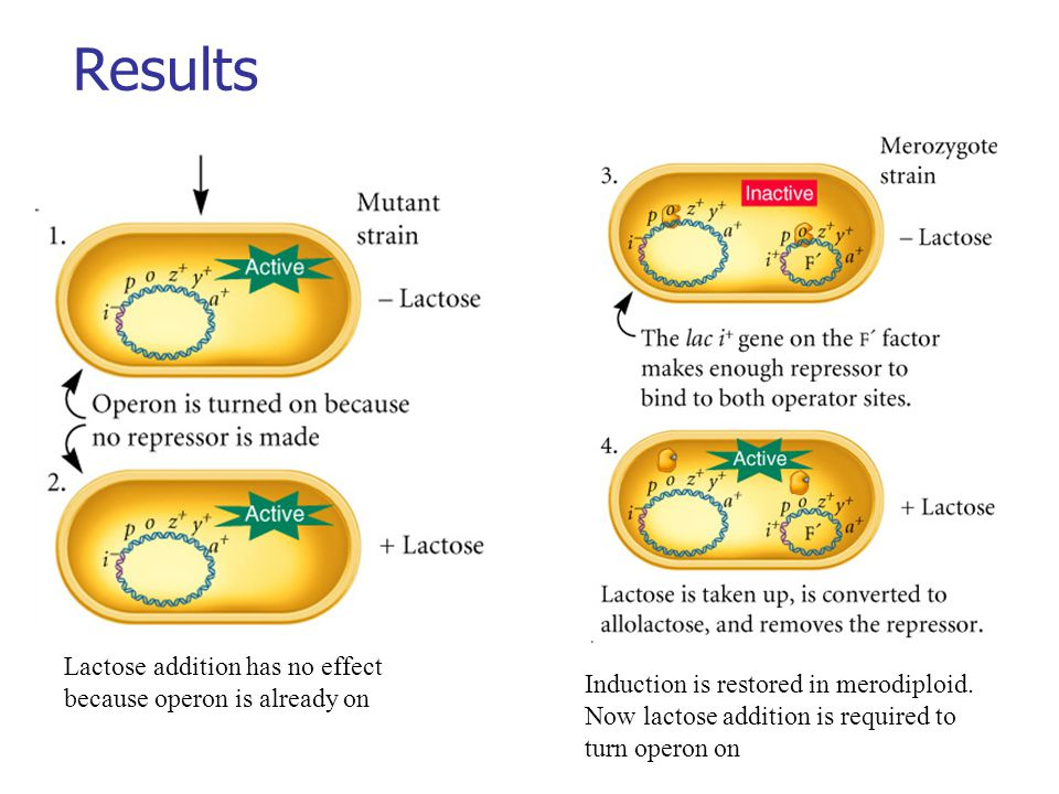 Results Lactose addition has no effect because operon is already on