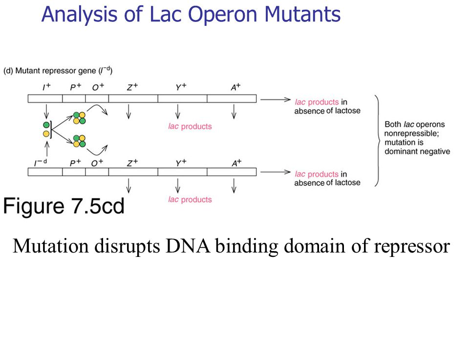 Analysis of Lac Operon Mutants