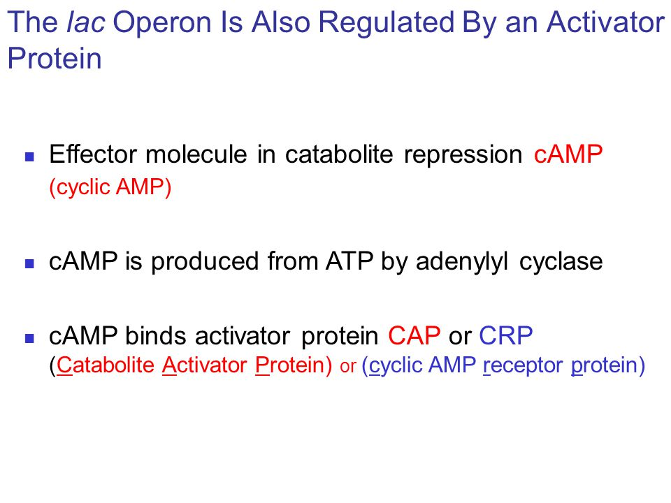 The lac Operon Is Also Regulated By an Activator Protein