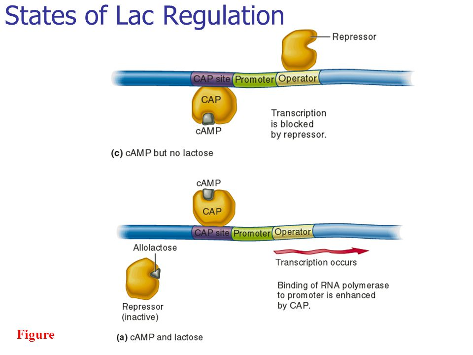 States of Lac Regulation
