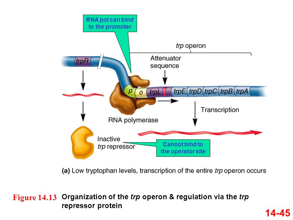 RNA pol can bind to the promoter Cannot bind to the operator site