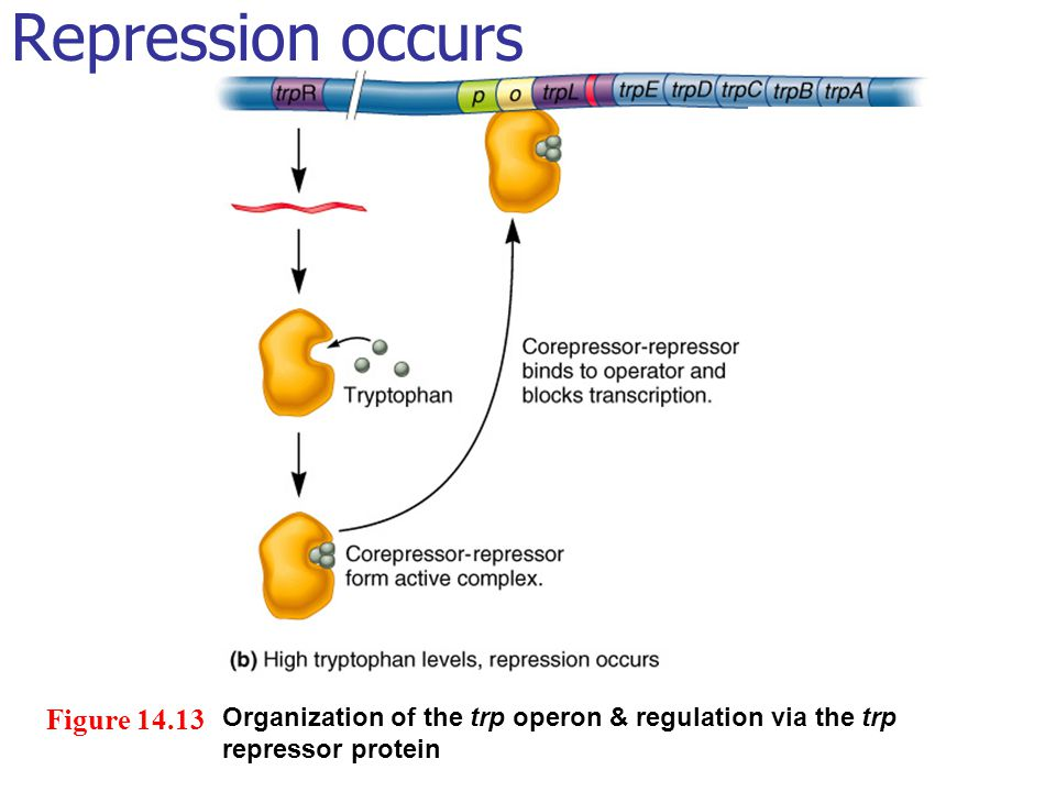 Repression occurs Figure 14.13