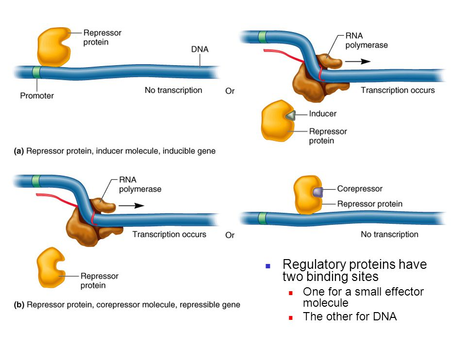 Regulatory proteins have two binding sites