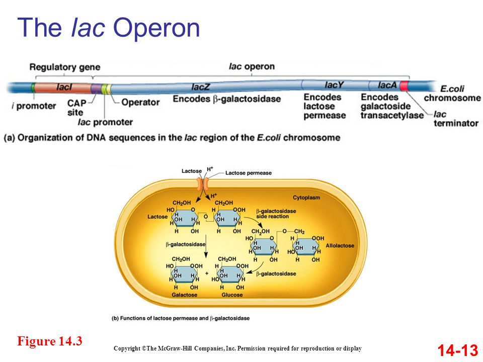 The lac Operon Figure 14.3. 14-13. Copyright ©The McGraw-Hill Companies, Inc.