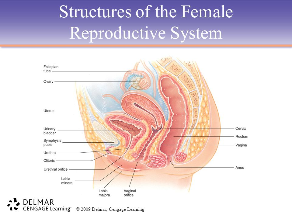 Structures of the Female Reproductive System