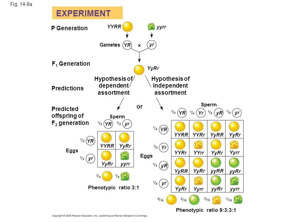 EXPERIMENT P Generation F1 Generation Hypothesis of Hypothesis of