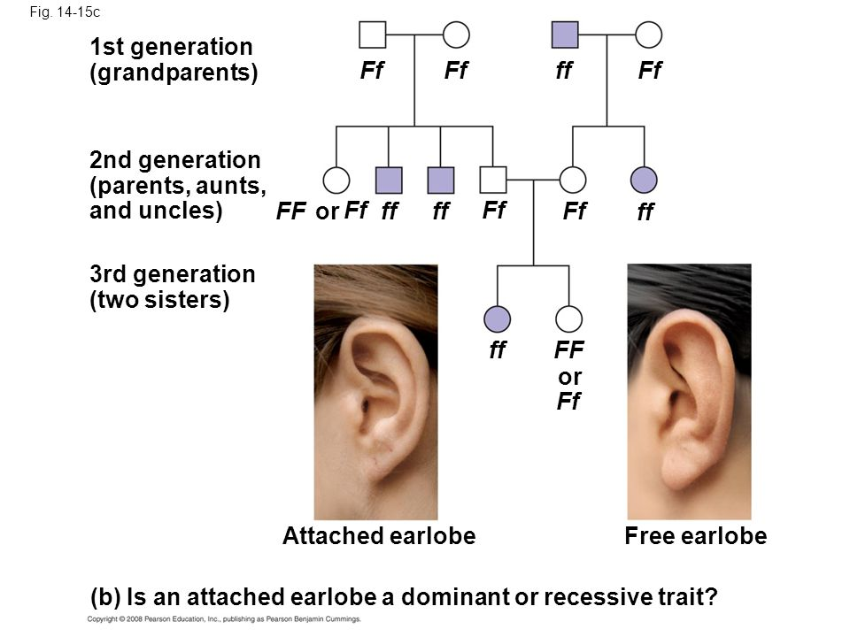 (b) Is an attached earlobe a dominant or recessive trait