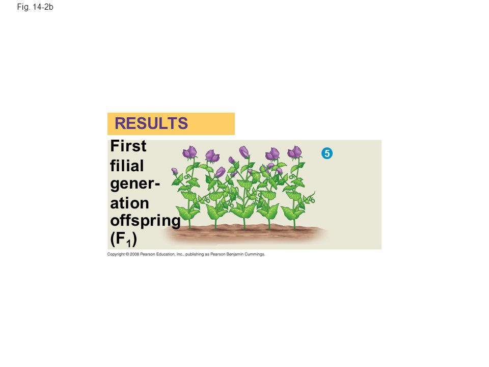 RESULTS First filial gener- ation offspring (F1) 5 Fig. 14-2b