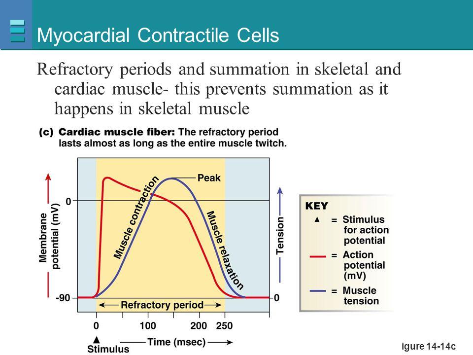 Myocardial Contractile Cells