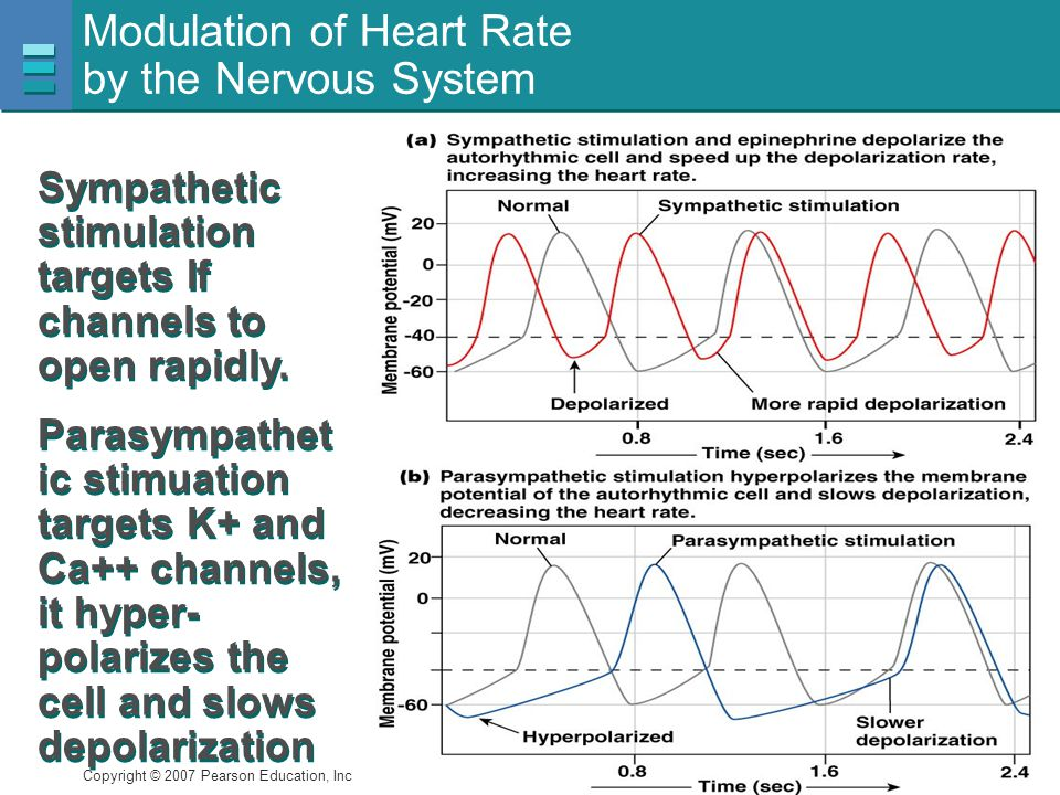 Modulation of Heart Rate by the Nervous System
