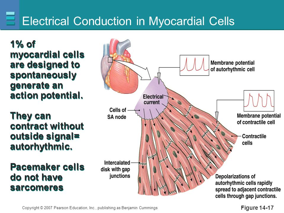 Electrical Conduction in Myocardial Cells