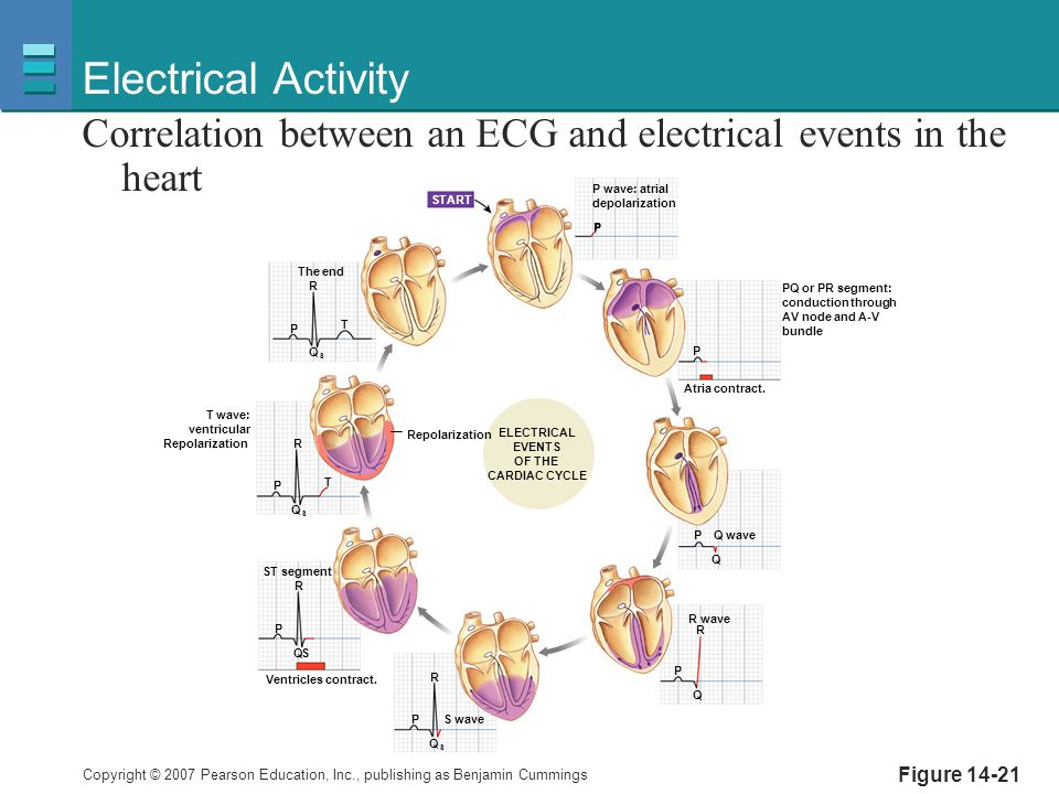 Electrical Activity Correlation between an ECG and electrical events in the heart. P wave: atrial.