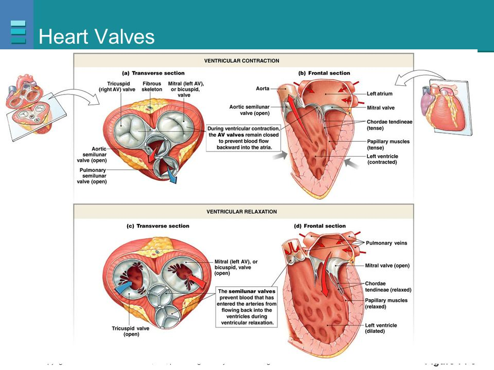 Heart Valves PLAY Animation: Cardiovascular System: Anatomy Review: The Heart Figure 14-9