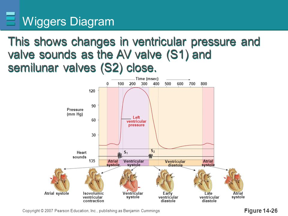 Wiggers Diagram This shows changes in ventricular pressure and valve sounds as the AV valve (S1) and semilunar valves (S2) close.